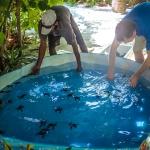Turtle Hatchings - Fenfushi ponds
