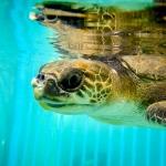 Olive Ridley Turtle 'Buddy'