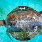 Olive Ridley turtle - Bonita's carapace