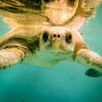 Olive Ridley Turtle 'Maria'