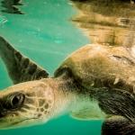 Olive Ridley Turtle 'Shareefa'
