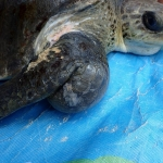 Kalo - rescued Olive Ridley turtle with abscess