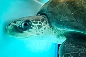 Rescue Olive Ridley Turtle - Deviana