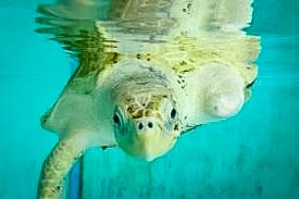 Rescue Olive Ridley Turtle - Ossy