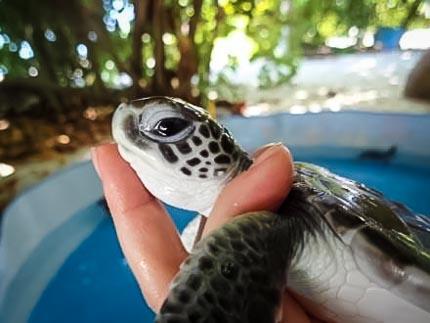 Turtle Nest Protection - Fenfushi hatchling