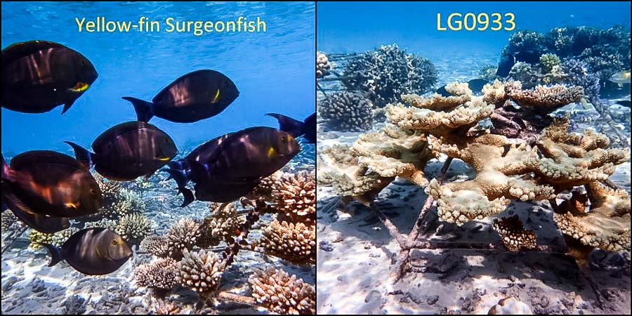 Yellow-fin Surgeonfish (Acanthurus xanthopterus) and LG0933 (Acropora clathrata)