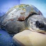 Rescue Turtle - Rex supported in our recovery pool