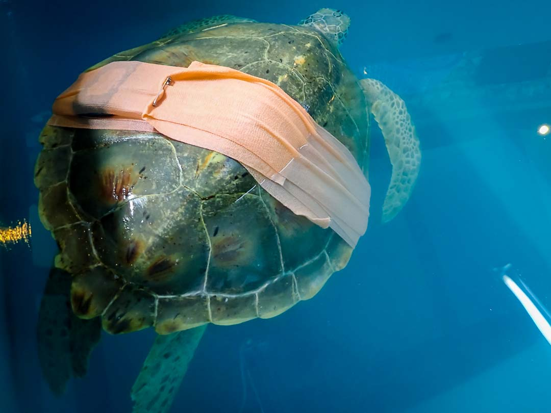 Aleena - rescue green turtle, Marine Savers Maldives