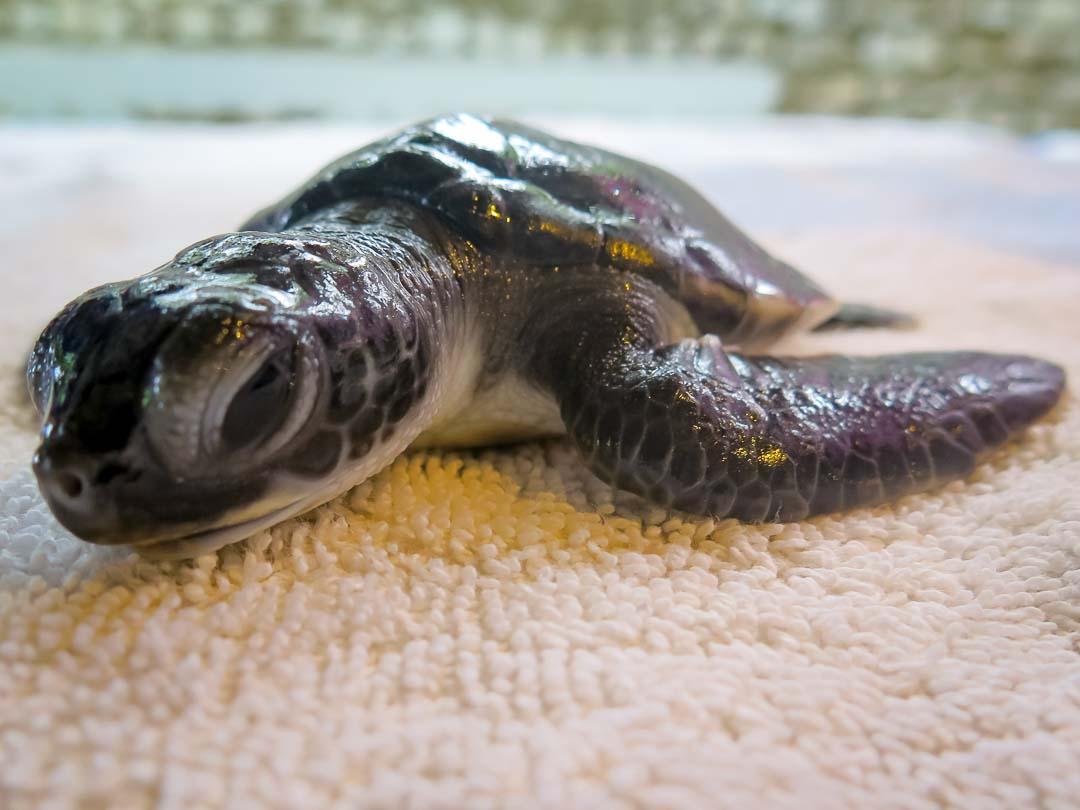 160614-cm-106-flora-turtle-monitoring-day-3