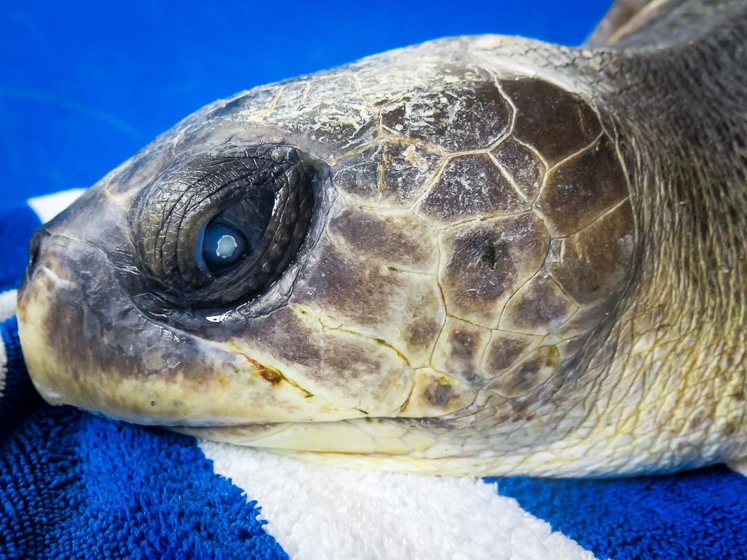 Greg Turtie rescue turtle Marine savers Maldives