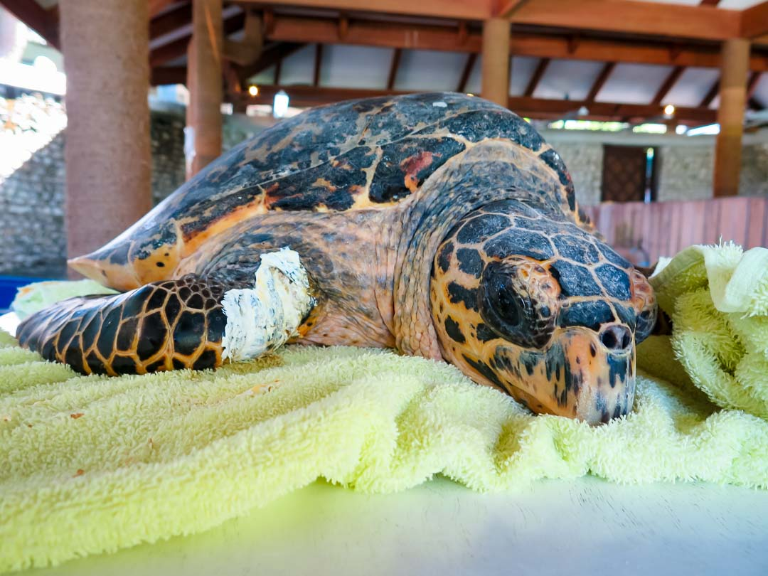 Rescued hawksbill turtle - Fiya - treatment