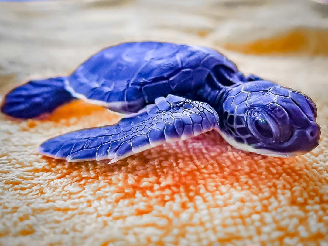 Everett rescue Green turtle Marine Savers Maldives