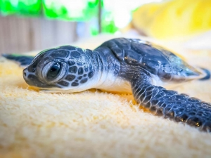 Everett rescue Green turtle Marine Savers Maldives (Everett)