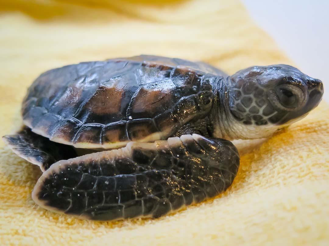 head-start-turtle-copepod-cm-n028-112