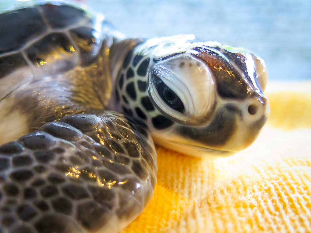 head-start-turtle-honu-cm-n025-107