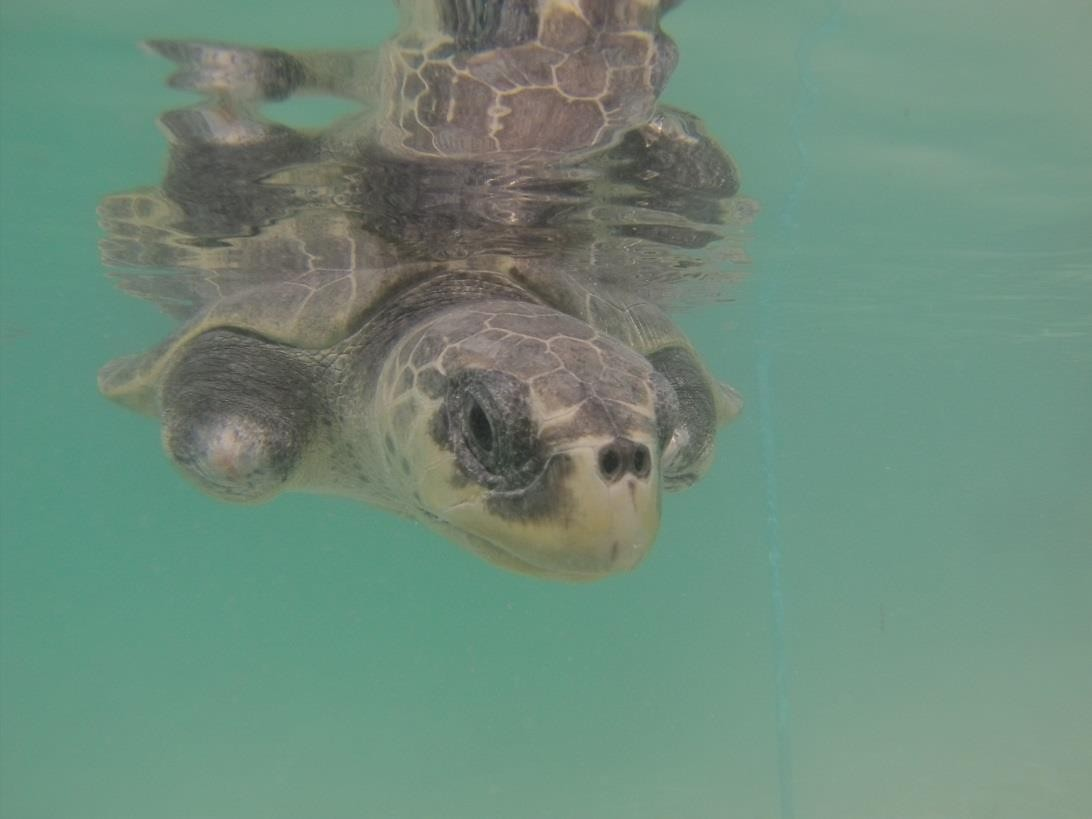Olive Ridley Rescue turtle - Greg in the ocean for rehab