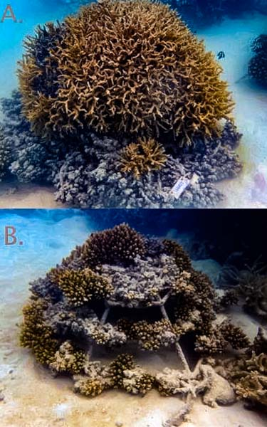 Coral frames - sand accretion (A: LG0427) and fish predation (B: LG0413)