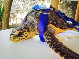 Rescue turtle Fiya in the new turtle stretcher [KH 2016.10-11] (Fiya)