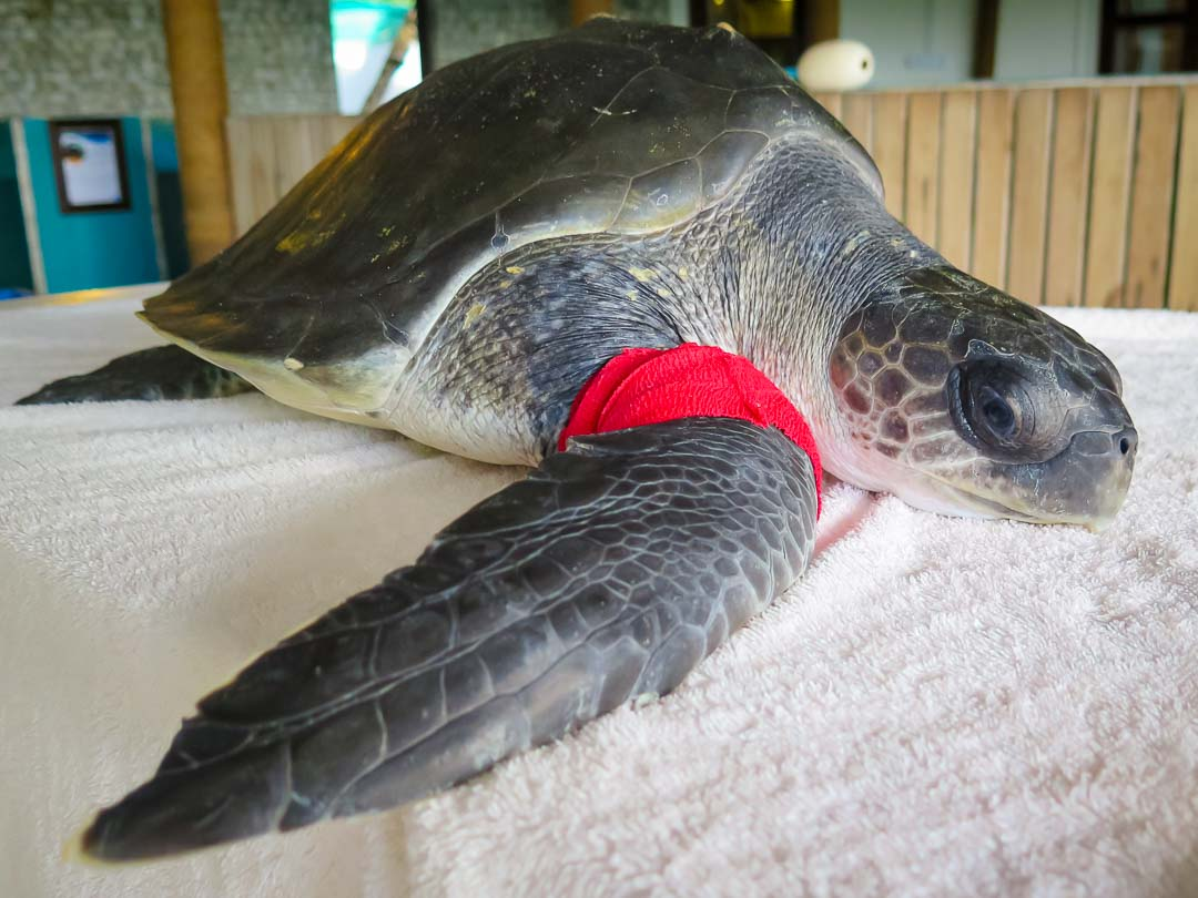 Rescue turtle Pumpkin, Marine Savers Maldives