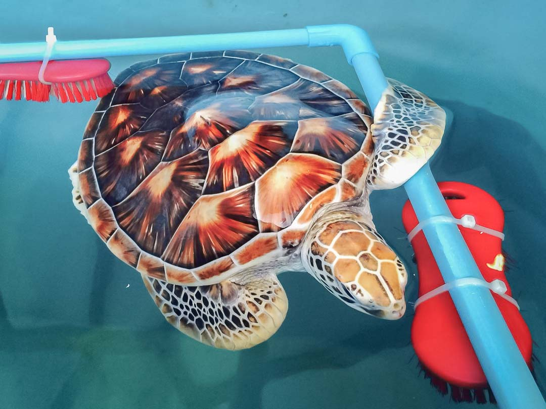 tial-head-start-green-turtle-marine-savers-maldives-3