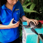 Turtle rehabilitation - Winy [Seamarc Maldives Volunteers]