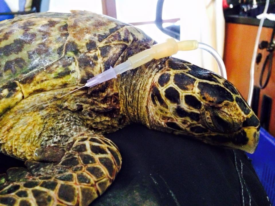 turtle-rescue-hattie-the-hawksbill-kh-2015-06