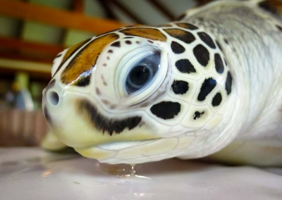 Rescue turtle 'Hua' Marine Savers Maldives