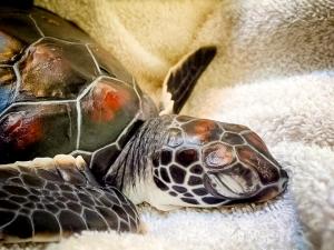 Baby turtle taking a nap – 2 [KH.FB.09] (Marine Turtle Rescue & Rehabilitation)