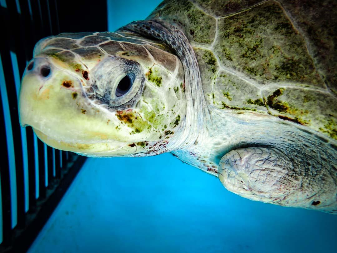 Elsa - Olive Ridley turtle