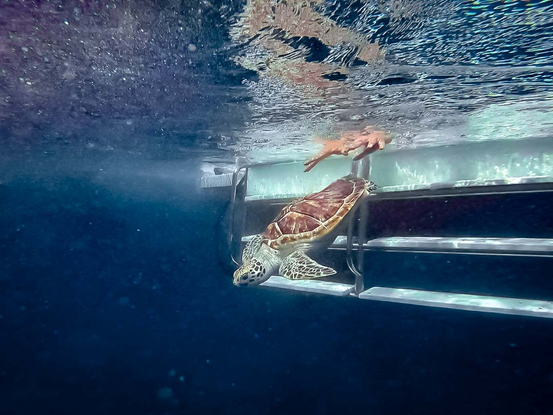 Rescue turtle 'Hua' - released - Marine Savers Maldives