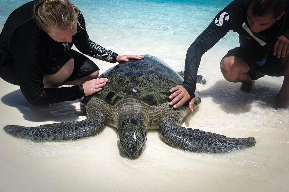 Huge adult male Green Turtle, stranded, rescue (1) 3×2