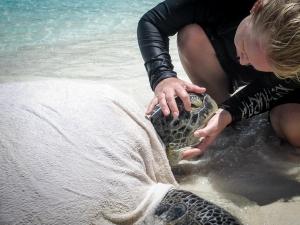 Huge adult male Green Turtle, stranded, rescue, Kuda Huraa Maldives (Marine Turtle Rescue & Rehabilitation)