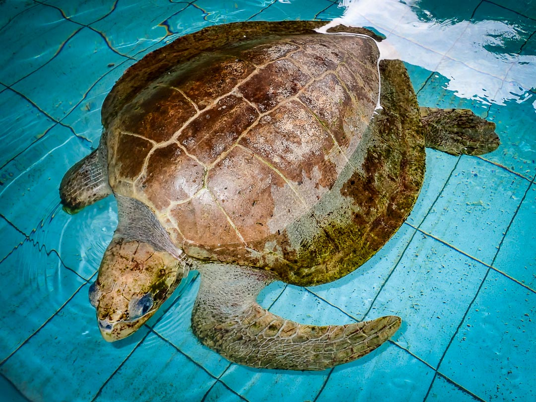 Olive Ridley Turtle rescued - Kerry