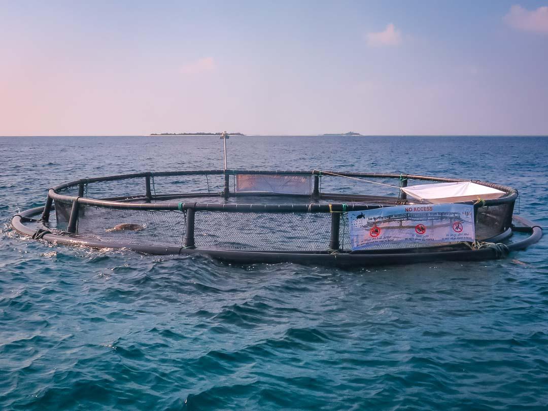 La Petite transferred back to Atoll Marine Centre, 16-Jan-16