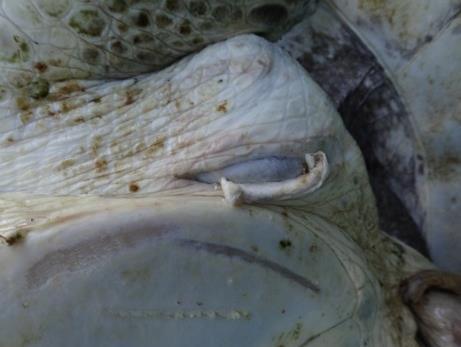 La Petite - rescue turtle - Unusual algal growth on carapace