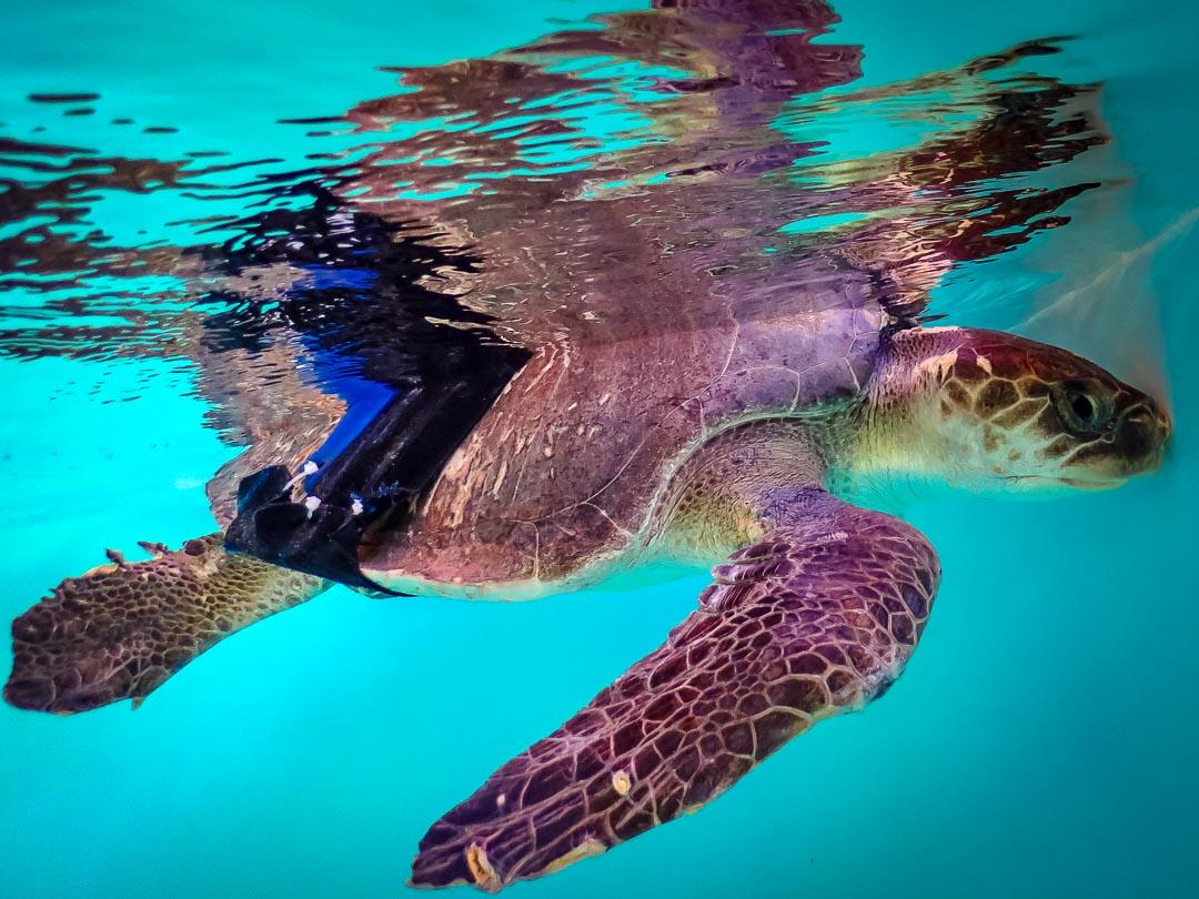 Olive Ridley Turtle rescued - La Petite