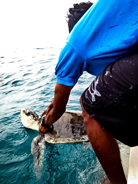 Rescue Olive Ridley turtle - Lylah's release, Kuda Huraa, Maldives