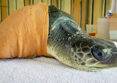 Ollie juvenile Olive Ridley turtle - post-surgery