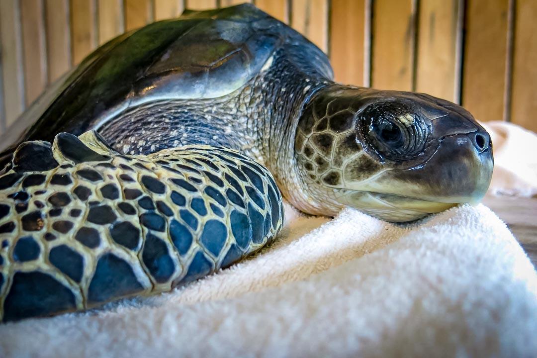 Ollie rescue turtle - 1 - badly injured flipper