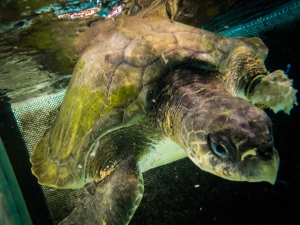 Ossy – rescue turtle – shortly after arrival (Ossy)