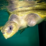 Olive Ridley Turtle rescued - Peggy