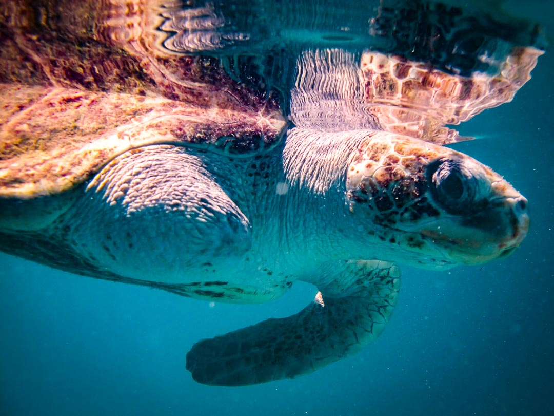 Peggy - Olive Ridley Turtle