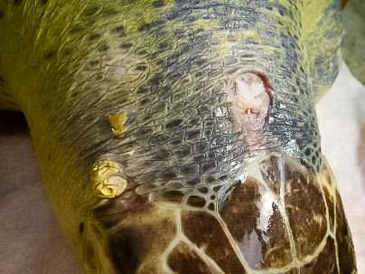 Rescue Turtle La Petite wounds