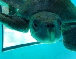 Rescue turtle Rai [LG 2015.07]