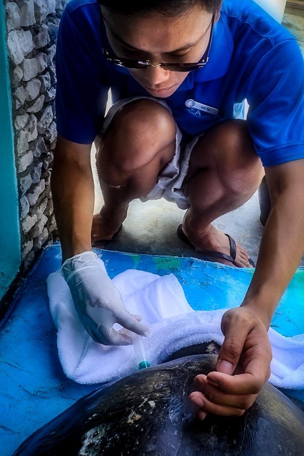 Seamarc Maldives - marine biology volunteers - turtle rescue & rehabilitation