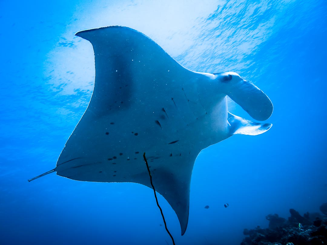 Seamarc Maldives marine biology volunteers and interns – manta