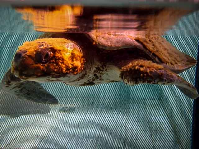 Zahiya - rescue turtle - soon after arrival
