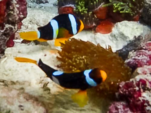 Clark's Clownfish release into the wild