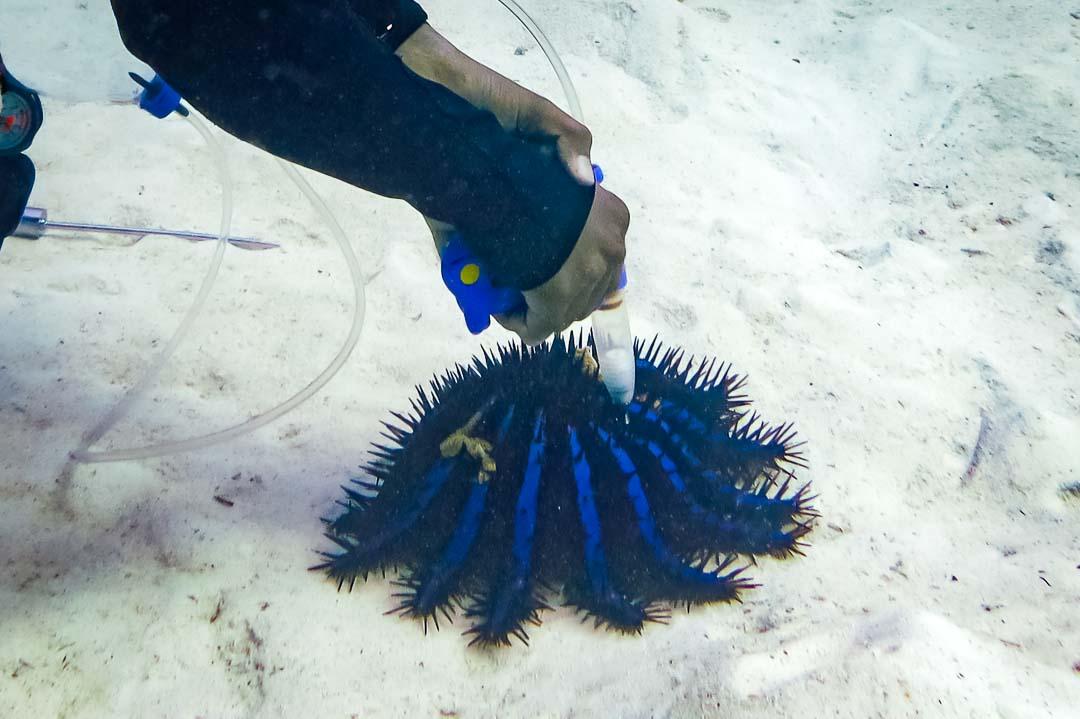 Collecting Crown of Thorns, dive team, Kuda Huraa, Maldives