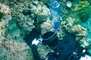 Collecting Crown of Thorns, dive team, Kuda Huraa, Maldives (Reefscapers News Roundup)